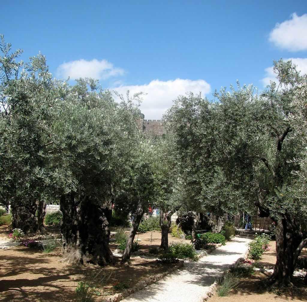 getsemane-oliveiras-israel